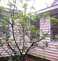 One of the fig trees in the late April rain
