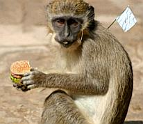 Hamburger-eating surrender monkey