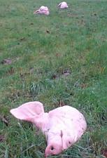 Pig heads at the mosque site