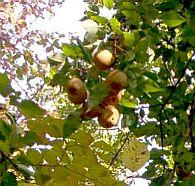 Wood pears