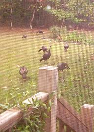 Turkeys seen through the back door screen