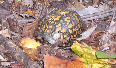 Eastern Box Turtle, eating a wood pear