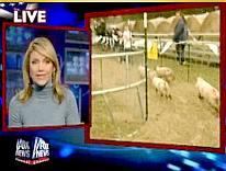 Pig races in Katy, Texas