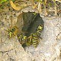 Insect mujahideen
